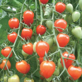 Tomatoberry Garden