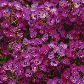 Clear Crystal® Purple Shades