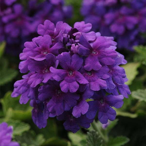 EnduraScape™ Dark Purple