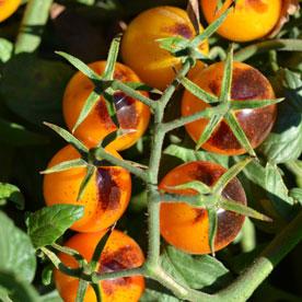 Indigo™ Kumquat