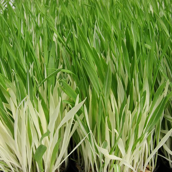 Tabby Cat Grass